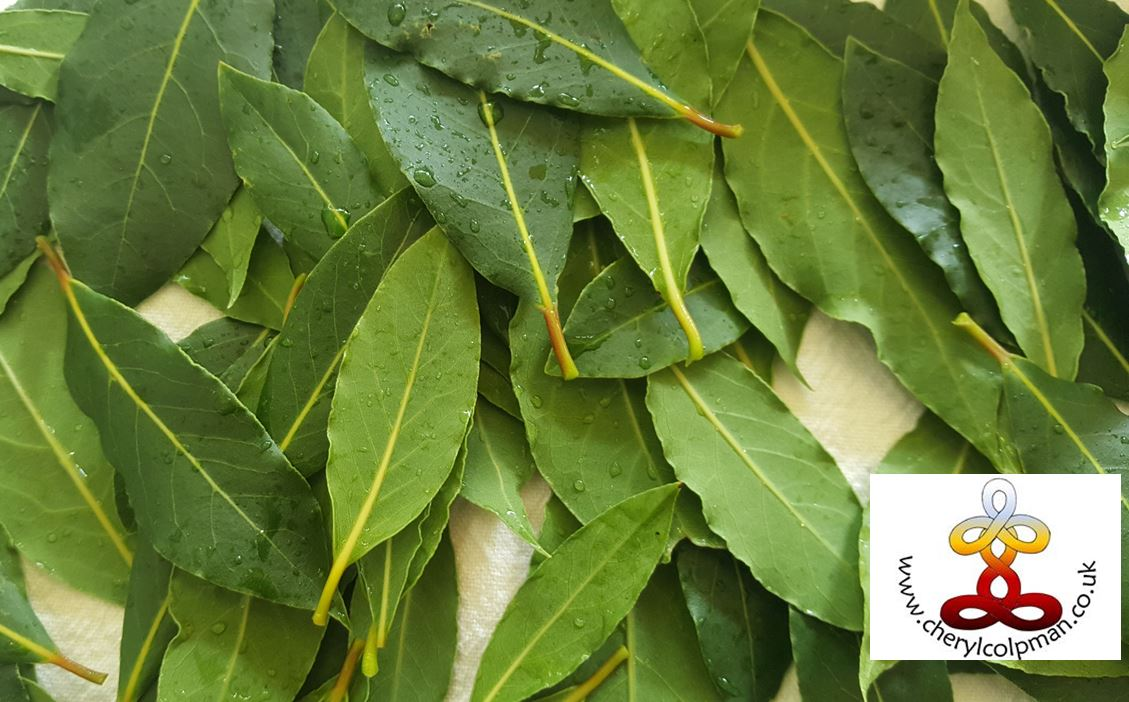 Bay leaves cutu and washed ready for drying for smudge and culinary use www.cherylcolpman.co.uk